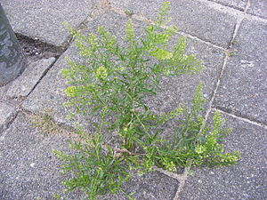 Steenkruidkers DSCF3979.JPG