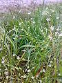 Stellaria graminea 09.jpg