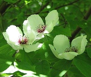 <i>Stewartia malacodendron</i> species of plant