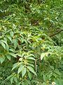 Stewartia pseudocamellia BotGardBln07122011E.JPG