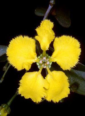 Stigmaphyllon - Stigmaphyllon flower