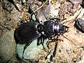 Stinking Ground Beetle - Flickr - GregTheBusker (1).jpg