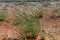 Stipagrostis ciliata-0032 - Flickr - Ragnhild & Neil Crawford.jpg