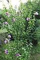 Straucheibisch Hibiscus syriacus 3129.jpg