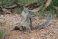 Streifenhörnchen sitzt aufrecht.jpg