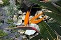 Strelitzia reginae 27zz.jpg