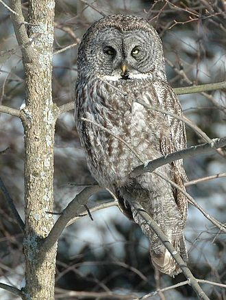 Great grey owl - Whitby, Ontario