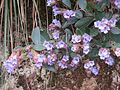 Strobilanthes Kunthiana - Neelakurinji at Mannavan Shola, Anamudi Shola National Park, Kerala (6).jpg