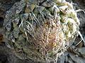 Strombocactus disciformis (5780665752).jpg