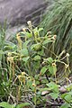 Strophanthus hispidus (Apocynaceae) (24443840385).jpg