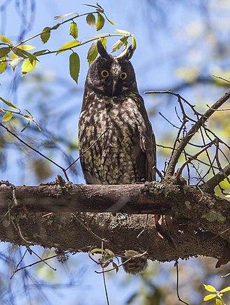 Stygian owl - Image: Stygian Owl (Asio stygius)
