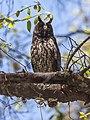 Stygian Owl (Asio stygius).jpg