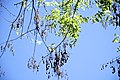 Styphnolobium japonicum-5.jpg