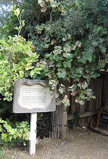 Виноград в неот кедумім