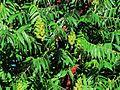 Sumak octowiec, 22 czerwiec. Piękna zieleń. Młode owocniki będą dojrzewać..JPG