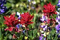 Sun peaks alpine flowers in full bloom.Indian Paintbrush (Castilleja miniata). (19434811018).jpg