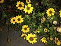 Sunflower image10.jpg
