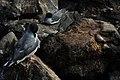 Swallow-tailed gulls (4201780269).jpg