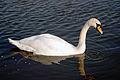 Swan (3523525292).jpg