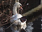 File:Swan couple during Winter Großer Garten 102548324.jpg