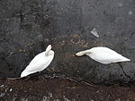 File:Swan couple during Winter Großer Garten 102548732.jpg
