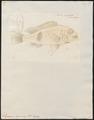 Synagris japonicus - 1774-1804 - Print - Iconographia Zoologica - Special Collections University of Amsterdam - UBA01 IZ13000255.tif