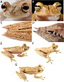Systematics-of-treefrogs-of-the-Hypsiboas-calcaratus-and-Hypsiboas-fasciatus-species-complex-(Anura-ZooKeys-370-001-g015.jpg