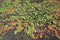 Tías - Masdache - LZ-58 - Mesembryanthemum crystallinum 01 ies.jpg