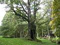 Tülivere tamm, the Oak of Tülivere - panoramio - Aulo Aasmaa.jpg