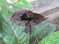Tacca chantrieri - Kerala -Vavvalpoovu -black bat flower 04.JPG