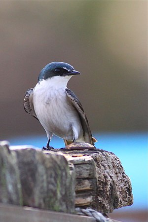 Mangrove swallow - Front view of the mangrove swallow