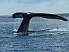Tail of a whale near Valdes Peninsula.jpg