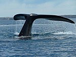 Tail of a whale near Valdes Peninsula.jpg