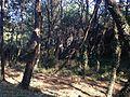 Tate Pine Grove 3.JPG