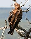 Tawny Eagle cropped