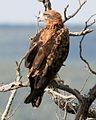 Tawny Eagle cropped.jpg