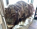 Taxidermied muskox (Ovibos moschatus). Quality Hotel Skifer, Oppdal, Norway. Photo 2019-03-19 A.jpg