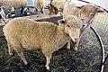 Taxidermied sheep.jpg
