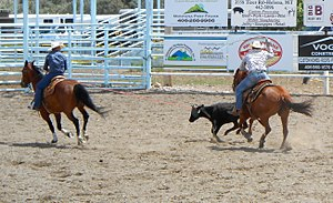 Team roping - Header (left) is pulling steer into position for heeler (right) to rope the hind legs of steer.