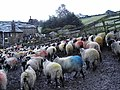 Technicolor® Sheep - geograph.org.uk - 88462.jpg