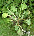 Teesdalia nudicaulis2 W.jpg