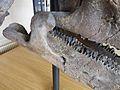 Teeth-triceratops-horridus-1.jpg