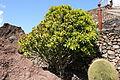 Teguise Guatiza - Jardin - Euphorbia neriifolia 03 ies.jpg
