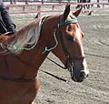 Tennessee Walking Horse Head.jpg