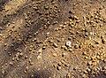 Terminalia bellerica 15.JPG
