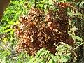Terminalia paniculata fruits at Kottiyoor Wildlife Sanctuary (2).jpg