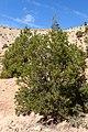 Tetraclinis articulata kz12 Morocco.jpg