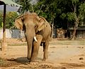 Thai bull elephant in musth.jpg