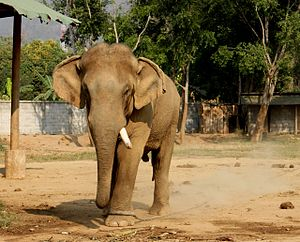 Musth - An Asian Elephant bull chained during musth. Note the discharge from the temporal glands.