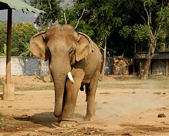 Musth - An Asian elephant bull chained during musth, with discharge from the temporal glands.